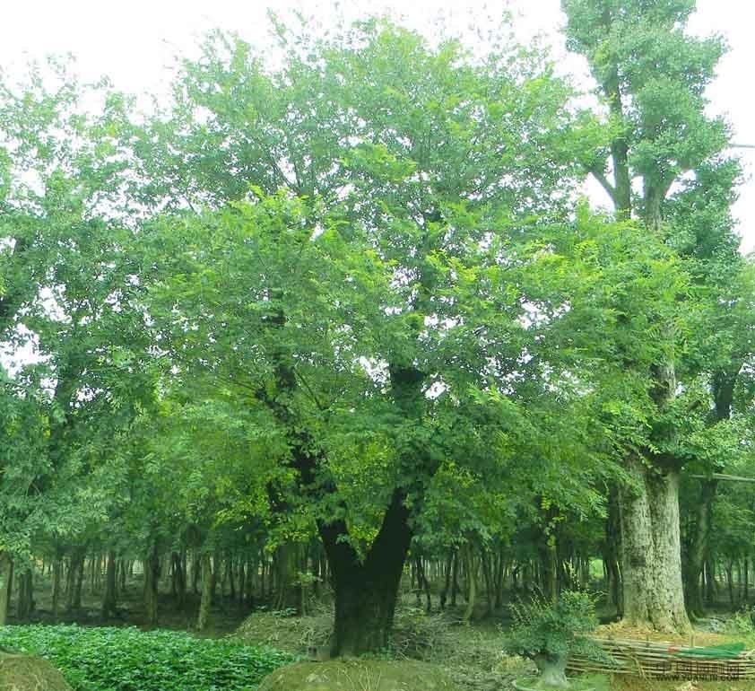 首页 绿化苗木频道 苗木供应 绿化苗木 乔木 10公分朴树价格,20公分