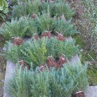 大量供应观赏苗木 1-10公分 紫薇 百日红 光皮树 痒痒树