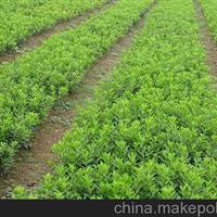 安徽蚌埠大量供应金边黄杨