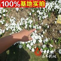 大量優質矮牽牛 草花批發 盆栽 花卉價格 花卉基地