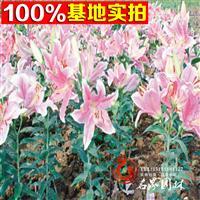 百合种球 百合种苗常年供应香水百合