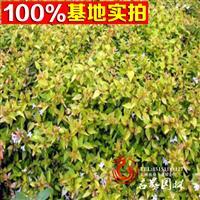 基地直销大花六道木 根茎发达冠型优美 带定心土发货保证成活率