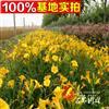 供应大花萱草 宿根地被植物 沭阳便宜的萱草 当天挖苗