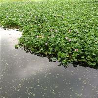 水葫芦行情报价\水葫芦图片展示