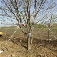 供应皂角树