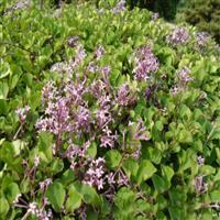 紫丁香供應/紫丁香圖片