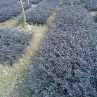 红花继木 直销红花继木价格报价,江苏红花继木球价格-图片,