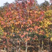 多花蓝果树价格/今年的正宗多花蓝果树价格行情