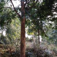 湖南新宁县靖位红豆杉专业种植合作社大量供红豆杉