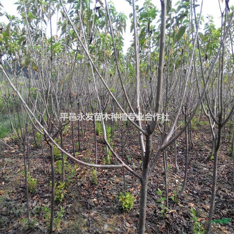 厂家直销樱桃苗嫁接大樱桃树苗品种齐全价格低
