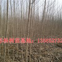 基地直销1-15公分杨树苗、意杨、速生杨、小叶杨、毛白杨
