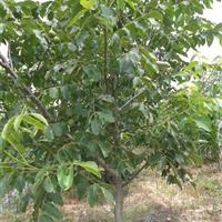 最新核桃树报价·地径10公分15公分18公分核桃树价格供应