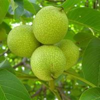 5公分核桃树7公分核桃树9公分核桃树价格·核桃树产地详情供应
