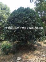 肥西专供桂花P200-400低价
