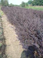 肥西专供,红花继木,红花继木球,红花继木小苗
