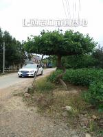 肥西专供,紫藤树造型