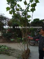 肥西志立苗圃专供,木芙蓉,P50-150