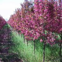 供應香花槐、香花槐苗、香花槐樹、1-10公分香花槐價格圖片