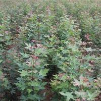 目前兩年生五角楓苗價格·目前100公分五角楓圖片·五角楓供應