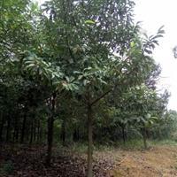 出售2-15公分苦丁茶,枫香,红豆杉,香榧,合欢,青枫