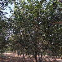 三叶园林 丛生朴树  高度5.5米  冠幅4米