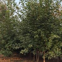 三叶园林 丛生元宝枫 高:2米 冠幅:1米