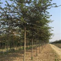 三叶园林 8公分的榉树 高度4米 冠幅2米