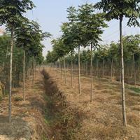 三叶园林 8公分的栾树 高度5.5米 冠幅3米