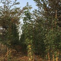 三叶园林 2公分的元宝枫 高度1.5米 地径2CM