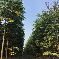 三叶园林 4公分的黄山栾树 (大量采购价格面议)