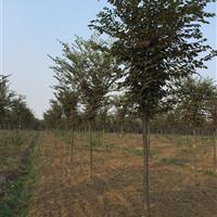 三叶园林 6公分榉树  精品苗