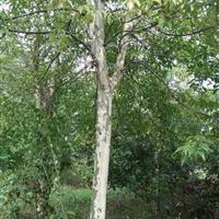供应:光皮树12-14公分