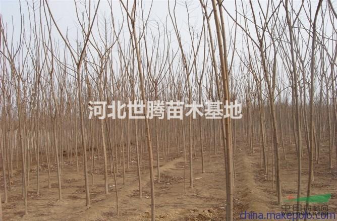 供应火炬树_米径5公分_保定种植地 | 河北世腾苗木基地
