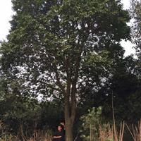 红果冬青;红果冬青大树,20-40公分红果冬青