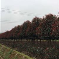 红叶石楠球;2-10公分红叶石楠;湖南红叶石楠供应,红叶石楠