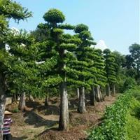 榆树造型;造型榆树;湖南造型榆树,造型榆树价格