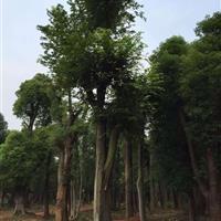 供应朴树;湖南大朴树;常年供应朴树,滇朴,朴树价格