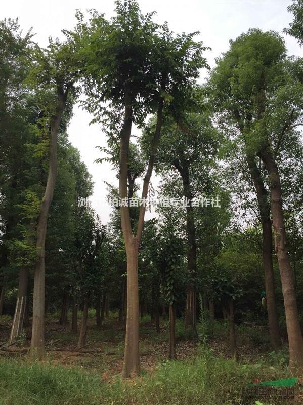 首页 绿化苗木频道 苗木供应 绿化苗木 乔木 供应朴树;湖南大朴树