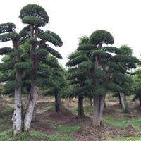 造型榆树,榆树桩景供应,造型榆树价格