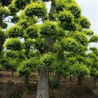供应造型榆树,黄金榆,黄金榆价格