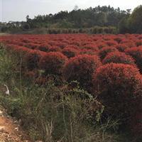 供应红叶石楠球,湖南红叶石楠,红叶石楠价格,红叶石楠柱