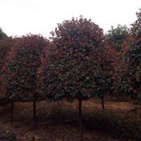 供应红叶石楠,8公分红叶石楠,湖南红叶石楠树,红叶石楠柱价格