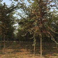 三叶园林 5公分的榉树  精品苗