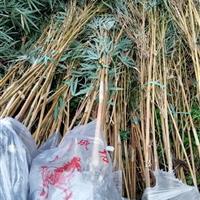 四川成都琴丝竹批发出售  琴丝竹销售供应