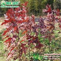 沼生栎 秋季观赏 红叶树种 沼生栎 北美红栎 火焰红栎小苗