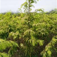 供应金叶水杉1~4米高,红枫,红梅,西府海