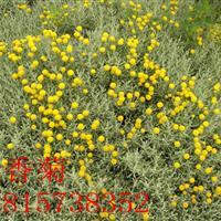 供应 优质银香菊小苗 另售银灰菊种子 质量保证 量大从优