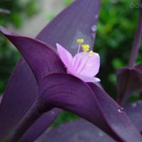 紫罗兰花种子种苗紫竹梅种子紫竹梅苗湖南紫竹梅吉林紫竹梅供销