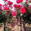 供应树状月季、玫瑰树