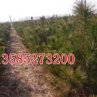 江苏黑松价格报价图片,油松,湿地松,黑松种子
